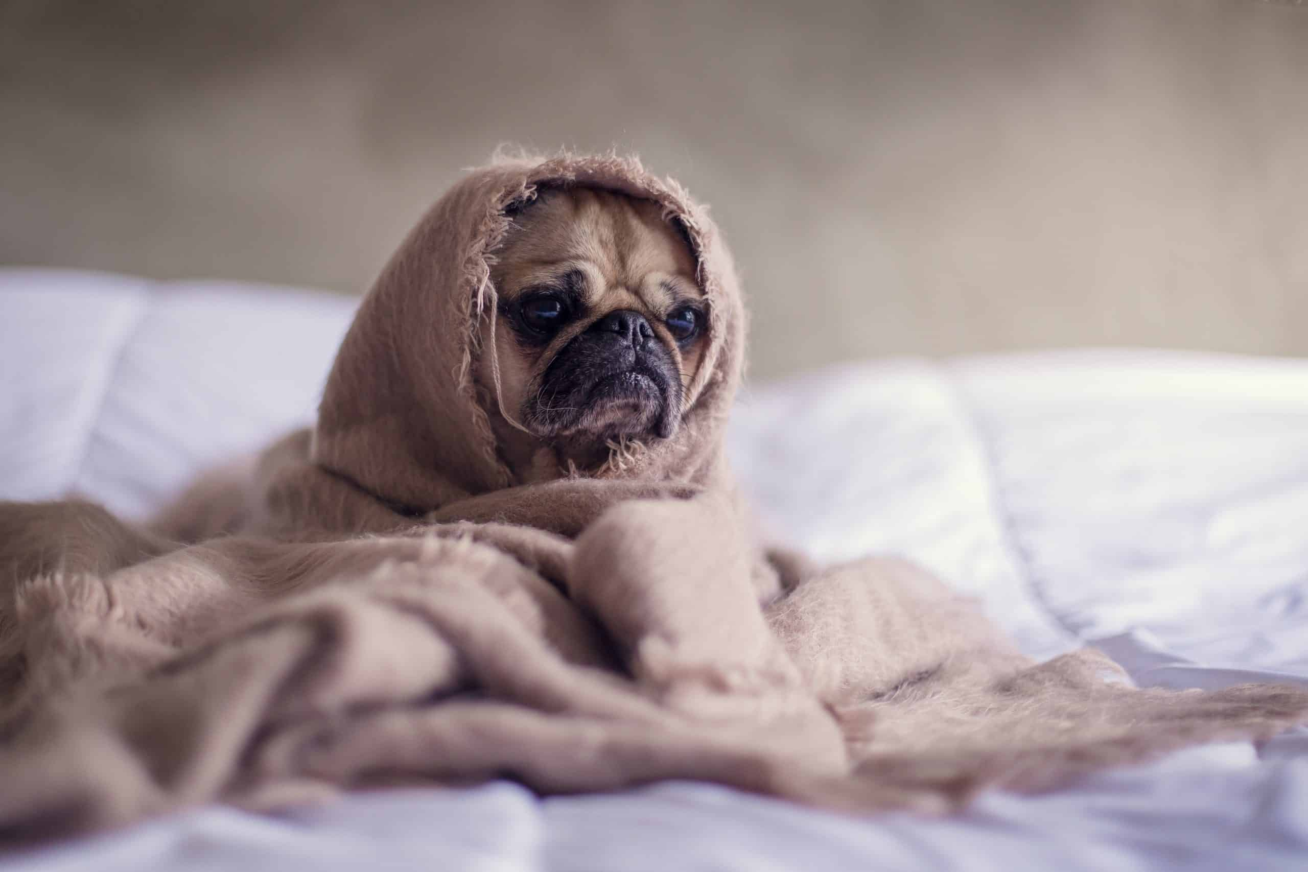 Pug tucken into a blanket on a bed in a cold home in calgary